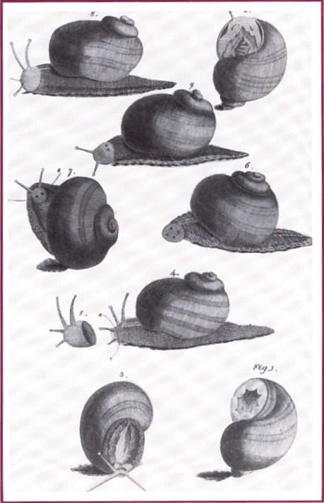 Alcune delle lumache che Spallanzani decapitava; la loro testa ricresceva.